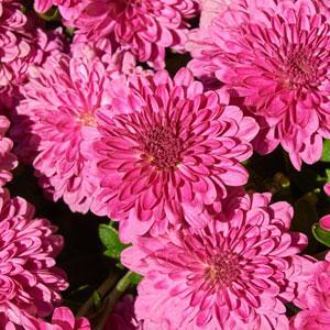 Chrysanthemum Ice Pink Dendranthema  - Chrysanthemum Igloo -  std pot
